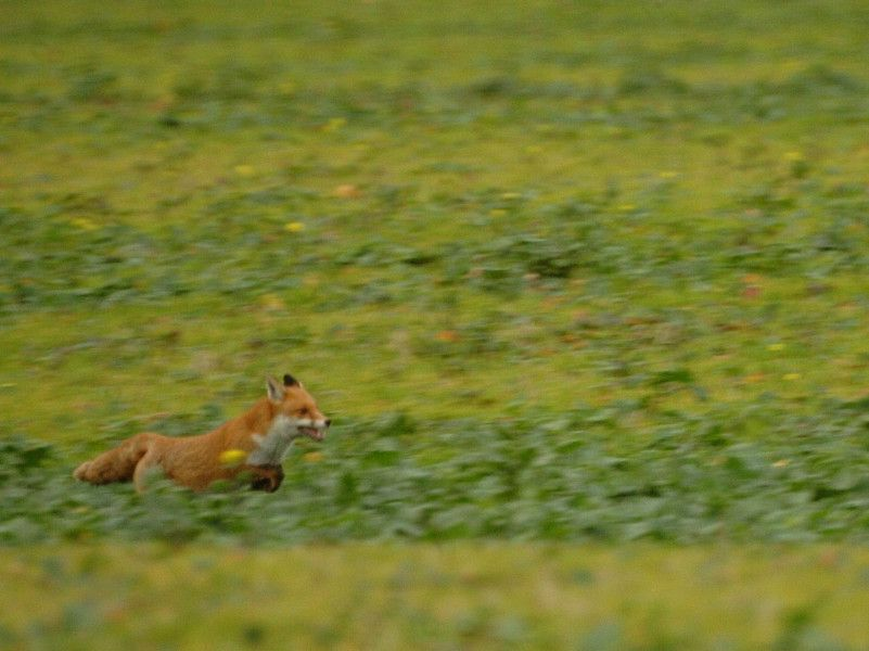 thames valley police issue fox hunting guidance after long
