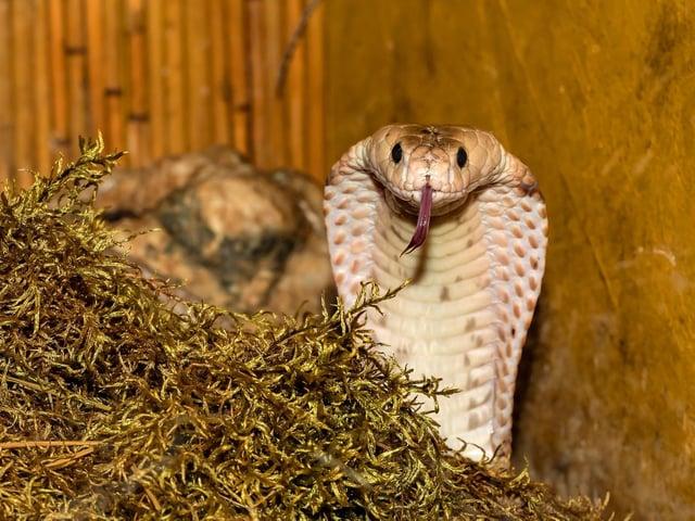 Could this cobra be your next door neighbour?