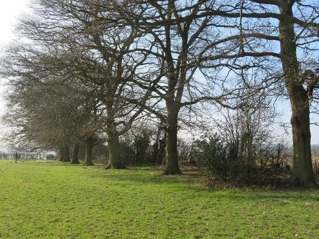 Leather Lane's Oak Trees