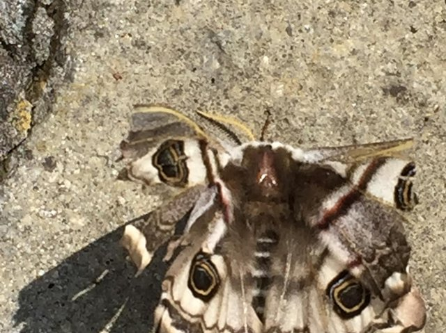 An extremely rare moth