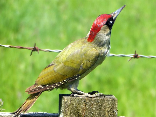 Richard Stevenson, from Whitchurch spotted the European Green Woodpecker in his back garden, and kindly shared this image with the Bucks Herald.