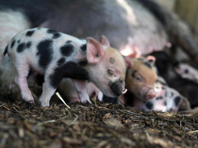 Kew Micro pigs